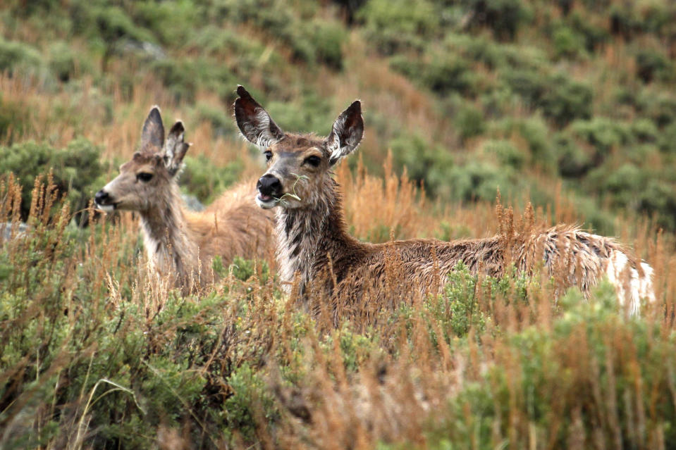 "In this photo provided by the Wyoming Migration Initiative, a doe and her yearling fawn ""surf the green wave"" of spring vegetation emerging along the foothills of the Wind River Range in the Hoback Migration Corridor near Pinedale, Wyo., on May 18, 2018. Big-game animals have traveled the same routes across Western landscapes for millennia but scientists only recently have discovered precisely where they go in pursuit of the best places to spend summer or wait out winter. Now the U.S. Geological Survey has published a collection of migration maps based on the latest research using GPS tracking and statistical analysis techniques. (Gregory Nickerson, Wyoming Migration Initiative/University of Wyoming via AP)"