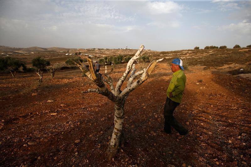 Palestinian farmer Mahmud Abu Shinar did not see who attacked his olive trees at night but blames residents of an Israeli settlement (AFP Photo/ABBAS MOMANI)