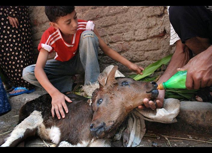 Egyptian farmers feed a two-headed calf, which can't stand on its own legs because it is top heavy, at a village near Alexandria, Egypt.