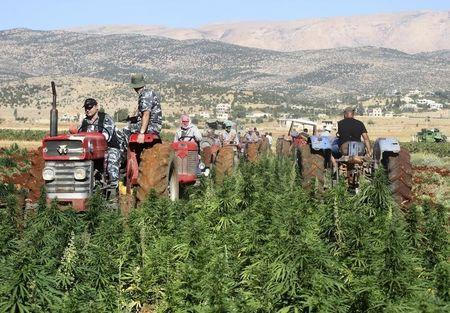 Lebanese security forces drive a tractor as they help workers uproot cannabis plants in Yammouneh village, in Baalbek