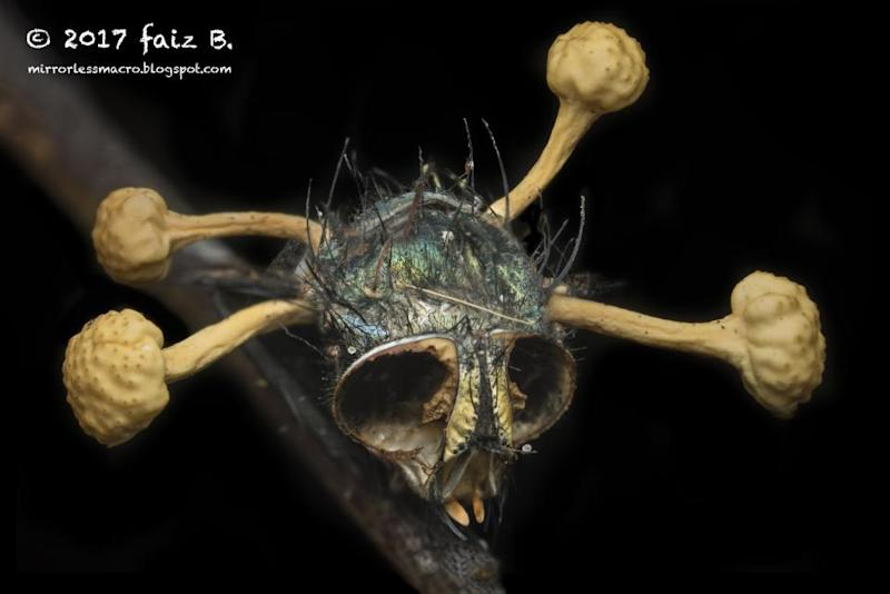 Cordyceps_infected_fly