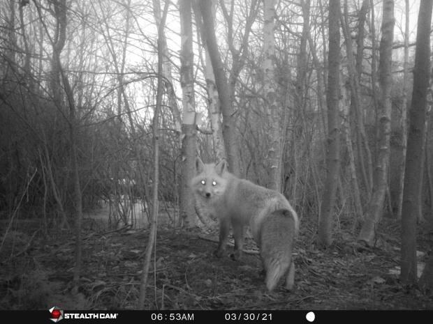The red fox population appears to be healthy. (Juliana Fernandes Granzoti - image credit)