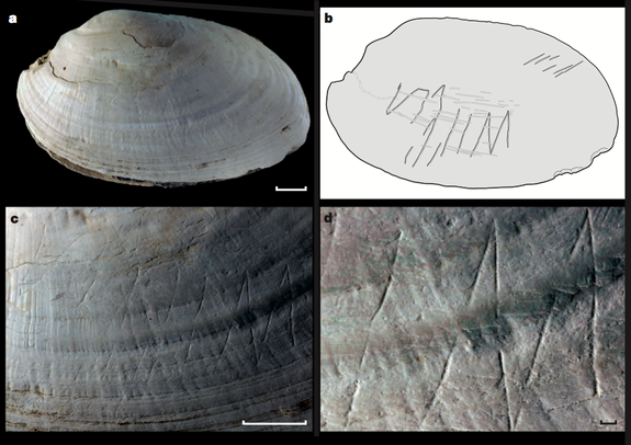 Researchers focused on engravings made on the shell, and drew a cartoon to help people visualize the carvings. Perhaps Homo erectus used a sharp point, such as a shark's tooth, to make the etching, the researchers said.
