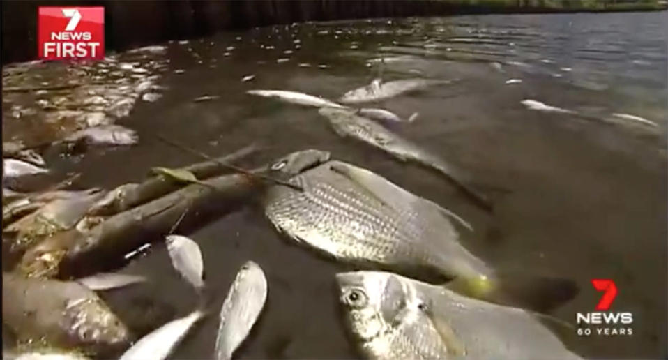 Locals living near a Beachmere lake first noticed birds swooping before they realised thousands of fish were dead. Source: 7 News