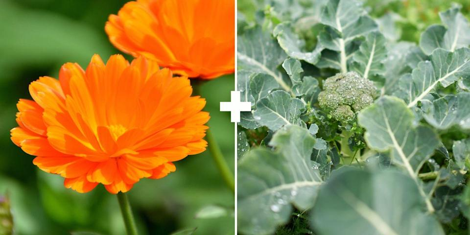 <p>These flowers exude a sticky substance on their stems that attract aphids and traps them there, says Stross. She finds that planting it next to her brassica crops, specifically broccoli, keeps the aphids off the broccoli. Plus, it brings in beneficial ladybugs to dine on the aphids. </p>