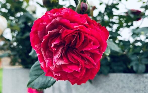 The Duke of Edinburgh commemorative rose bred by Harkness Roses has been officially named in memory of HRH The Duke of Edinburgh and has been launched to mark his centenary. For every rose sold, £2.50 will be donated to The Duke of Edinburgh's Award Living Legacy Fund. - Harkness Roses
