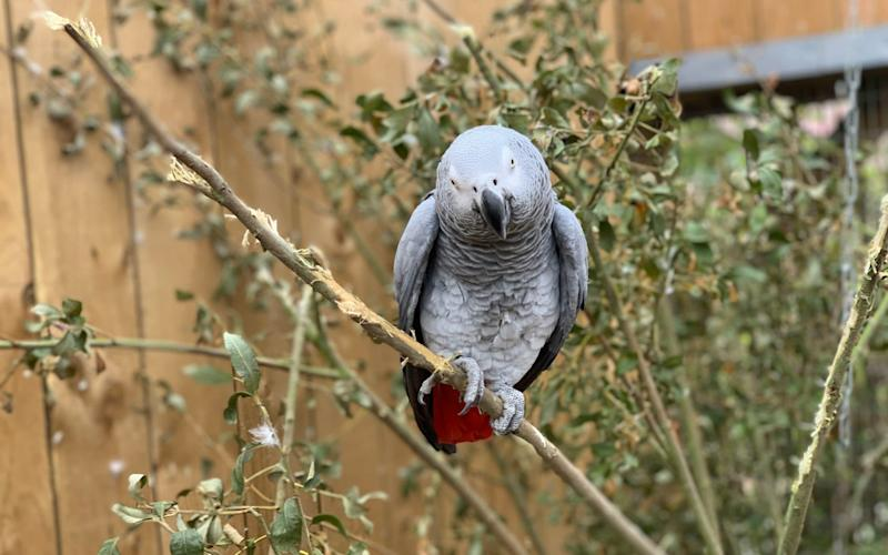 An African grey parrot, one of five at Lincolnshire Wildlife Centre who were separated after 'setting each other off' with bad language - PA