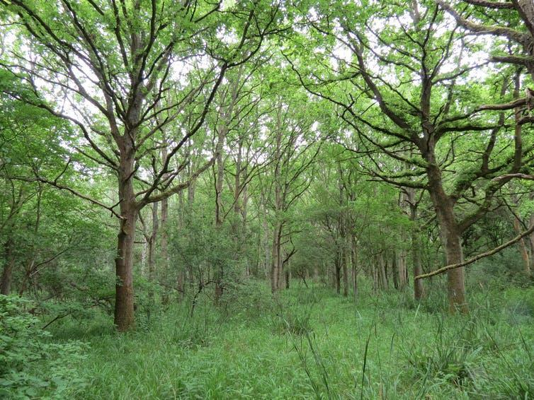 A woodland scene with trees and green understorey.