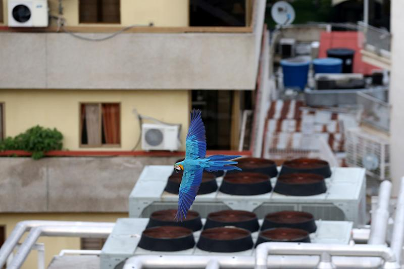 A macaw flies over buildings in Caracas, Venezuela, June 6, 2019. (Photo: Manaure Quintero/Reuters)