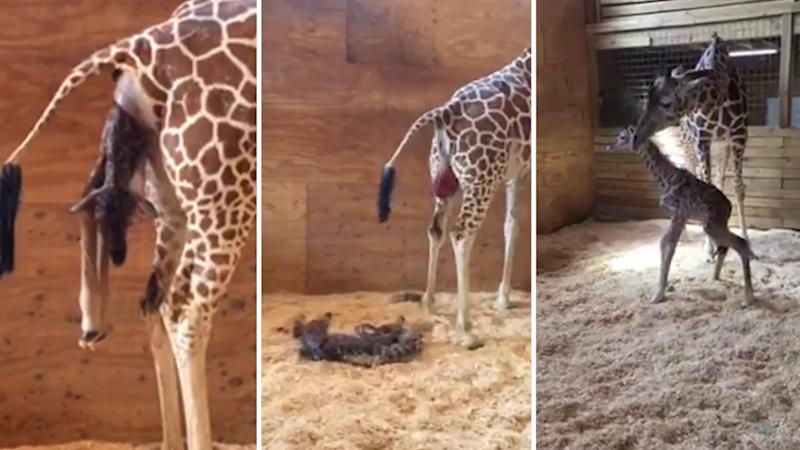 It's a Boy! Birth of Baby Giraffe in NY Zoo Livestreamed on FB