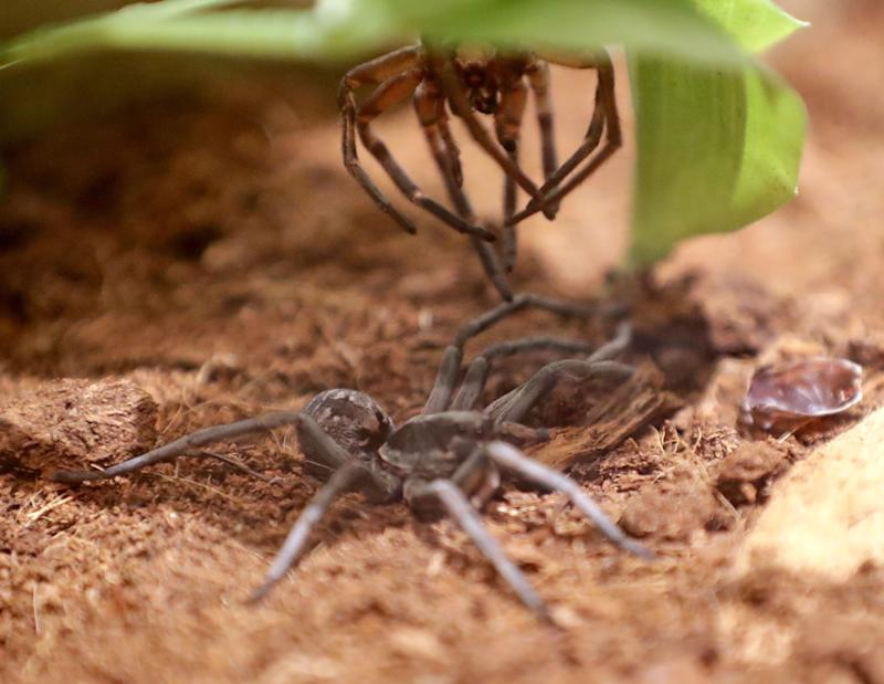 A wolf spider sits below its molted exoskeleton it recently shed at the new Spiders Alive! exhibit at the Milwaukee Public Museum.