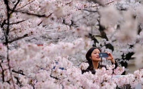 A visitor takes a photograph of cherry blossoms in full bloom in the Japanese capital Tokyo - Credit: Kazuhiro Nogi/AFP
