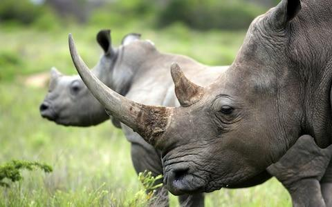 Rhino populations are facing a poaching crisis, but Botswana is working to protect them - Credit: AP/FOTOLIA