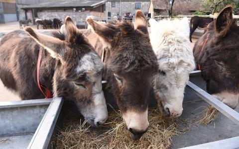 Demand for e-jiao endangers the world's 44 million donkeys - Credit: Jay Williams
