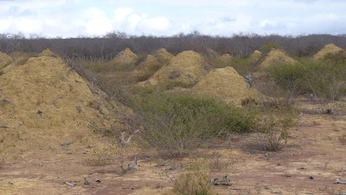 Millions of termite mounds built by a single species are as old as the pyramids and cover an area bigger than Great Britain (PA)