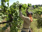 Miguel Ramos, of Salem, Oregon, reaches up to pull the leaf canopy over pinot noir grapes on Thursday, July 8, 2021, to shade the fruit from the sun, at Willamette Valley Vineyards in Turner, Ore. After a recent record heat wave and more hot weather expected, workers in several Pacific Northwest wineries will trim less of the leaf canopy to keep the grapes shaded and prevent sunburn. Winemakers are worried about what's still ahead this summer amid a historic drought tied to climate change and wildfire risk. (AP Photo/Andrew Selsky)