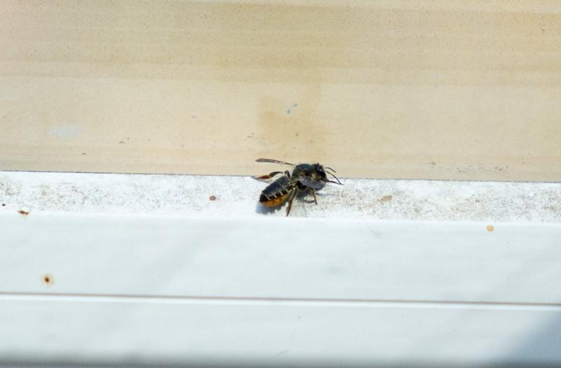 It is thought the bee was a stowaway in luggage (Picture: SWNS)