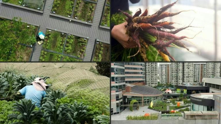 Cities growing green: Hong Kong's urban farms sprout gardens in the sky