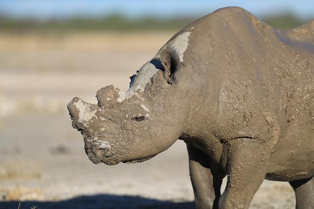 <p>A rhinoceros peeks out from rolling around in the mud near a creek inside Etosha National Park. (Photo: Gordon Donovan/Yahoo News) </p>