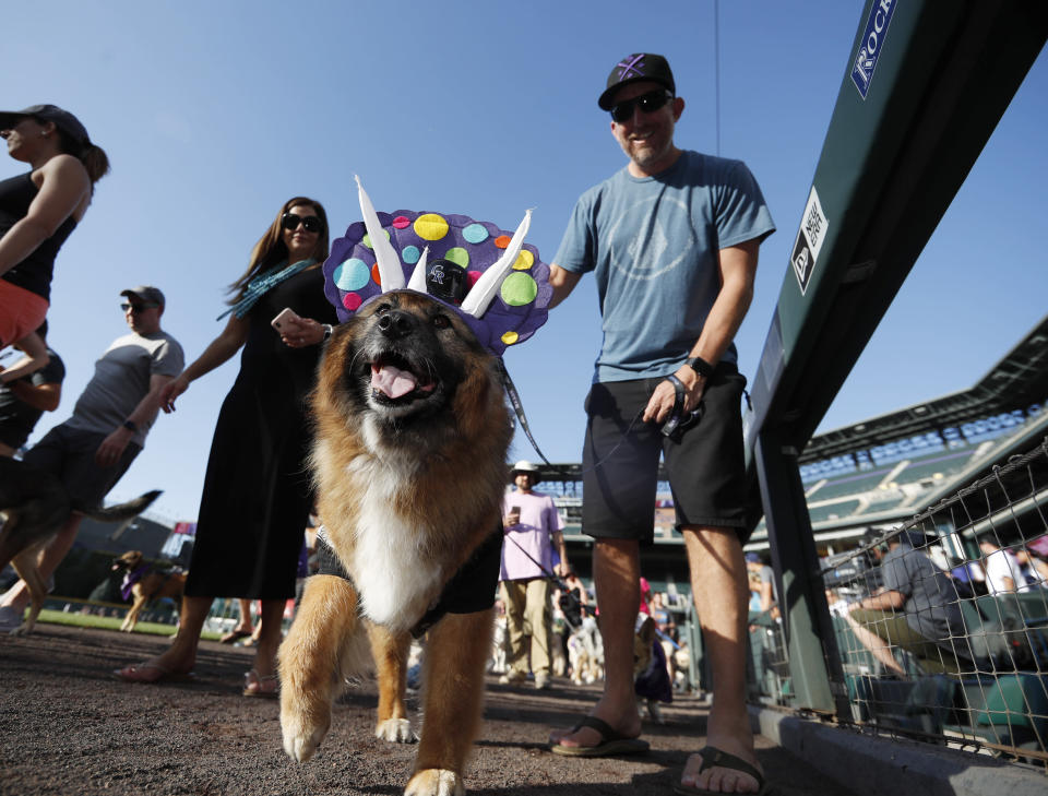 """Lulu, the three-legged dog dressed as the Colorado Rockies mascot, Dinger the dinosaur, walks the warning track during the """"bark in the park"""" promotion before the start of a baseball game between the Rockies and Arizona Diamondbacks Tuesday, Aug. 13, 2019, in Denver. (AP Photo/David Zalubowski)"""