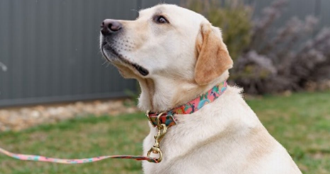 A golden retriever wearing a pink lead and collar
