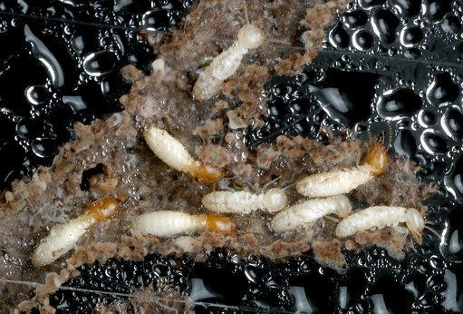 Pest control have to deal with all kinds of creatures, like these subterranean termites found in south Florida. Source: TNS/SIPA USA/PA Images