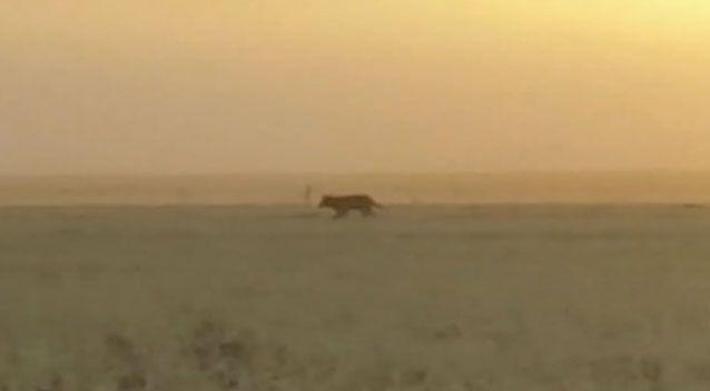 The creature's bizarre running style is said to be similar to the thylacine's. Source: YouTube
