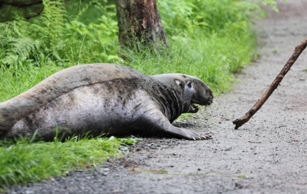 A large seal was found in Dartmouth's Shubie Park on Saturday morning. (Jeorge Sadi/CBC - image credit)