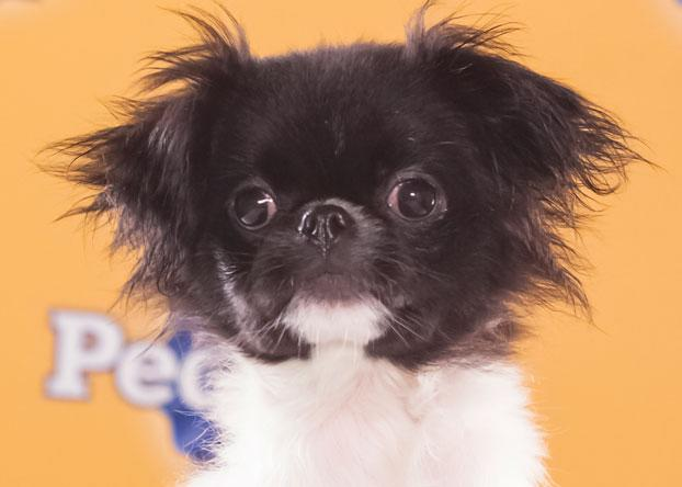 "Simba, an 8-week-old Japanese chin, is ""very playful and confident with other dogs."" (Photo by Keith Barraclough/DCL)"
