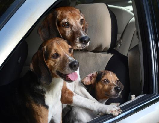 """Three pocket beagles lean out of a window in Los Angeles. Regan embarked on the odd task for her new 2014 calendar, """"Dogs in Cars."""""""