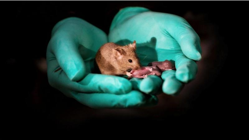 Scientists Make Same Sex Mice Have 29 Babies Using Stem Cells and Gene Editing, View Pics!