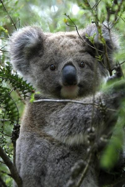 Koalas live in trees in Australia and eat mostly eucalyptus leaves.