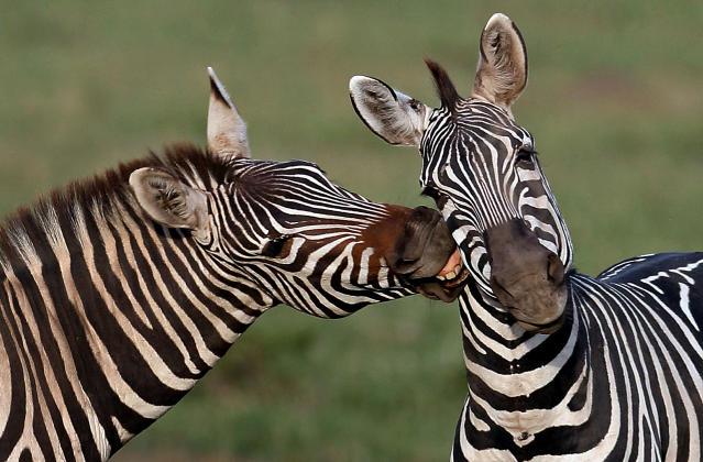 <p>Zebras in the Maasai Mara Game Reserve, Kenya. (Photo: Laurent Renaud/Dominique Haution /Caters News Agency) </p>