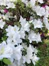 """<p>Azaleas are a sure sign that spring has arrived. Many new varieties of this shrub are more cold-tolerant, so you can grow them farther north. They need mostly sun. Make sure to choose one for your USDA Hardiness zone. </p><p><a class=""""link rapid-noclick-resp"""" href=""""https://www.provenwinners.com/plants/rhododendron/bloom-thon-white-reblooming-azalea-rhododendron-x"""" rel=""""nofollow noopener"""" target=""""_blank"""" data-ylk=""""slk:SHOP AZALEAS"""">SHOP AZALEAS</a></p>"""