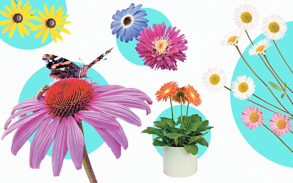The top 10 daisy varieties to suit every garden - Alamy Images / Gap Gardens