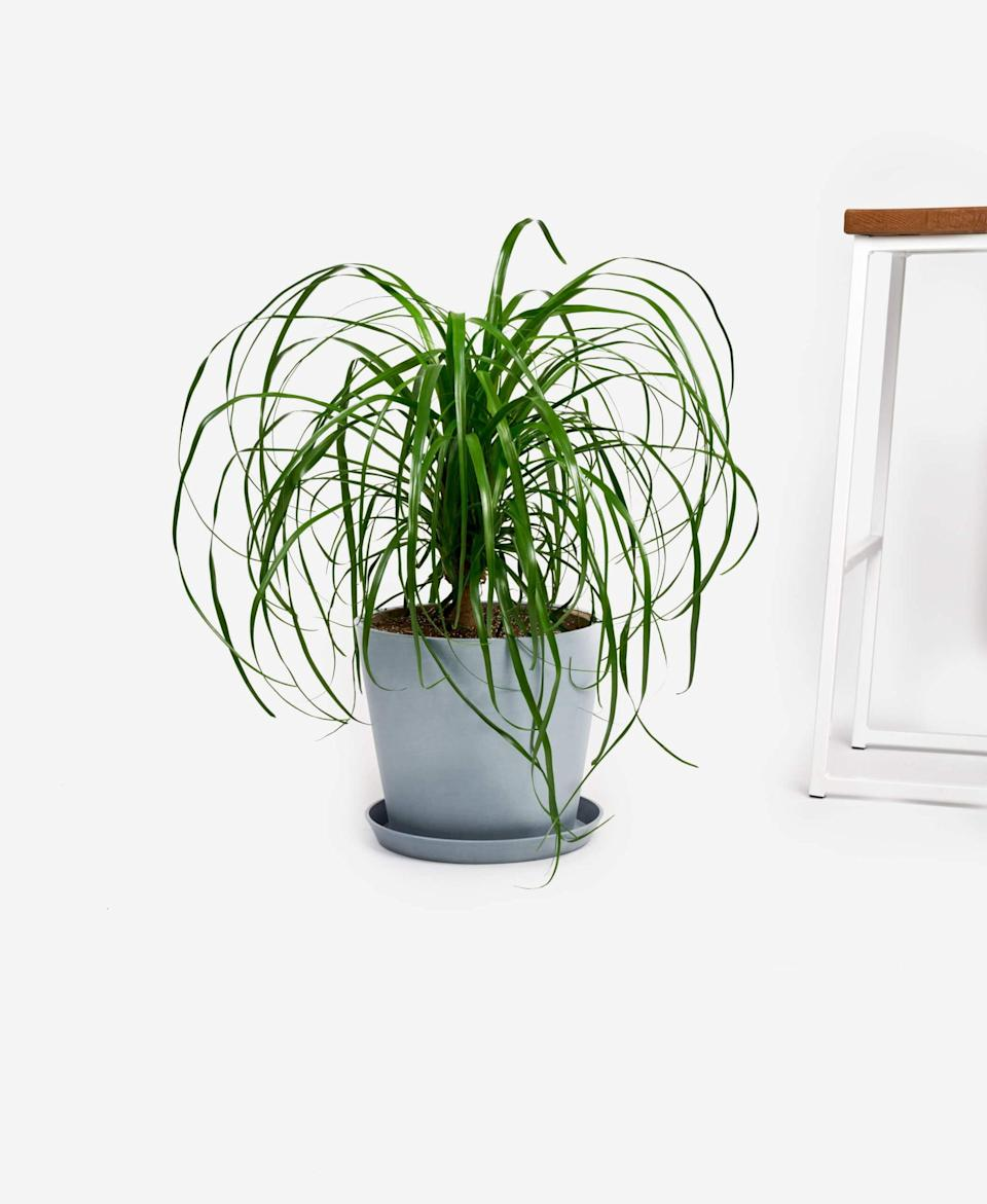 "<p>This <a href=""https://www.popsugar.com/buy/Potted-Ponytail-Palm-Indoor-Plant-568584?p_name=Potted%20Ponytail%20Palm%20Indoor%20Plant&retailer=bloomscape.com&pid=568584&price=150&evar1=casa%3Aus&evar9=47423087&evar98=https%3A%2F%2Fwww.popsugar.com%2Fphoto-gallery%2F47423087%2Fimage%2F47423325%2FPotted-Ponytail-Palm-Indoor-Plant&list1=shopping%2Chouse%20plants%2Cplants%2Chome%20decorating%2Cdecor%20shopping%2Cbloomscape&prop13=api&pdata=1"" class=""link rapid-noclick-resp"" rel=""nofollow noopener"" target=""_blank"" data-ylk=""slk:Potted Ponytail Palm Indoor Plant"">Potted Ponytail Palm Indoor Plant </a> ($150) is drought tolerant, slow growing, and requires very little care. </p>"