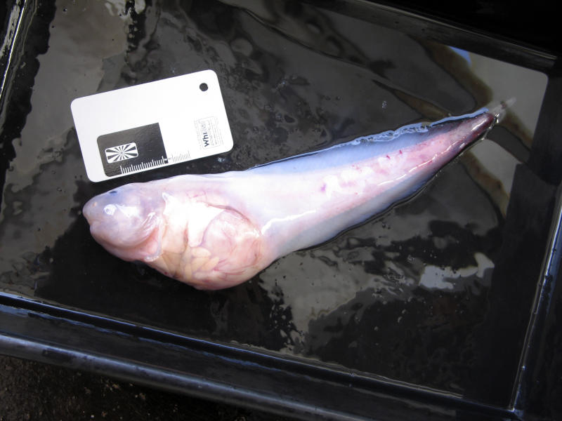 This photo taken in late 2011 and released by University of Aberdeen, shows a hadal snailfish that was caught in a trap at a depth of 7,000 meters in the Kermadec Trench near New Zealand. Scientists say the snailfish are providing new insights into how deep fish can survive. (AP Photo/University of Aberdeen) MANDATORY CREDIT