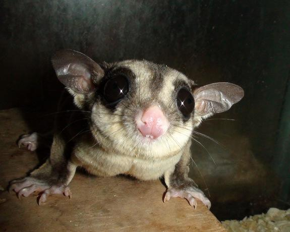 Southpaws: Some Female Marsupials Are Lefties