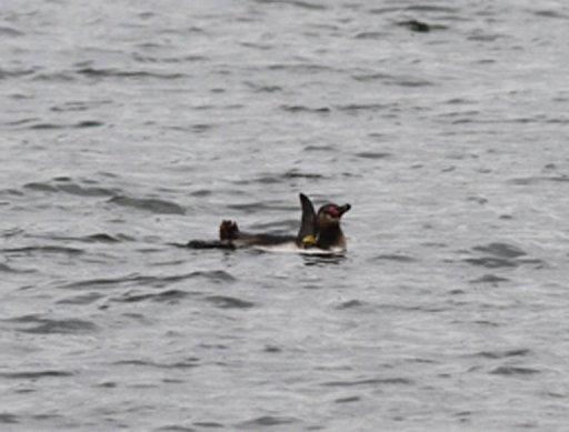 The penguin was spotted last month in a Tokyo river