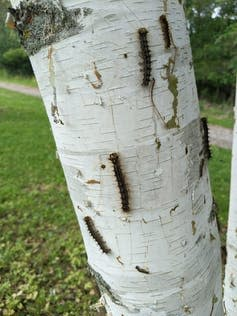 Several caterpillars crawling up a white-barked tree.
