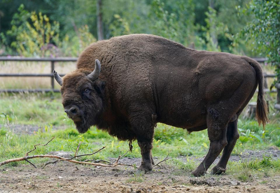 A bison (Gareth Fuller/PA) (PA Wire)