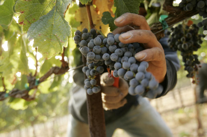 A worker pick grapes at a vineyard at Napa Valley winery Cakebread Cellars, during the wine harvest season in Rutherford, California September 12, 2008. Photo taken September 12, 2008.  REUTERS/Robert Galbraith (UNITED STATES)