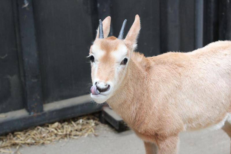 One calf was quickly orphaned when her mother Nikita died after complications during birth in December. (Chessington World of Adventures)