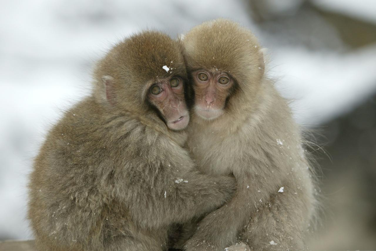 ** MANDATORY BYLINE ** PIC BY M.WATSON / ARDEA / CATERS NEWS - (Pictured two monkeys cuddling) - From a loving look to an affectionate nuzzle, these are the charming images of cute creatures cosying up for Valentines Day. And as the heart-warming pictures show the animal kingdom can be just as romantic as us humans when it comes to celebrating the big day. SEE CATERS COPY.