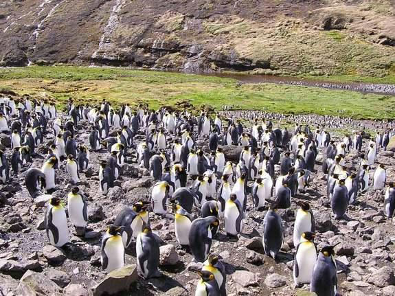 King Penguin Colony Getting Used to Humans