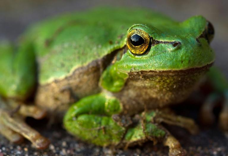 Killer fungus wiping out amphibians originated in Asia