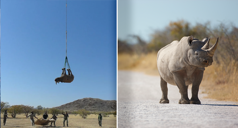 Left - A rhino being transported upside down. Right -  A stock image of a rhino standing on a road
