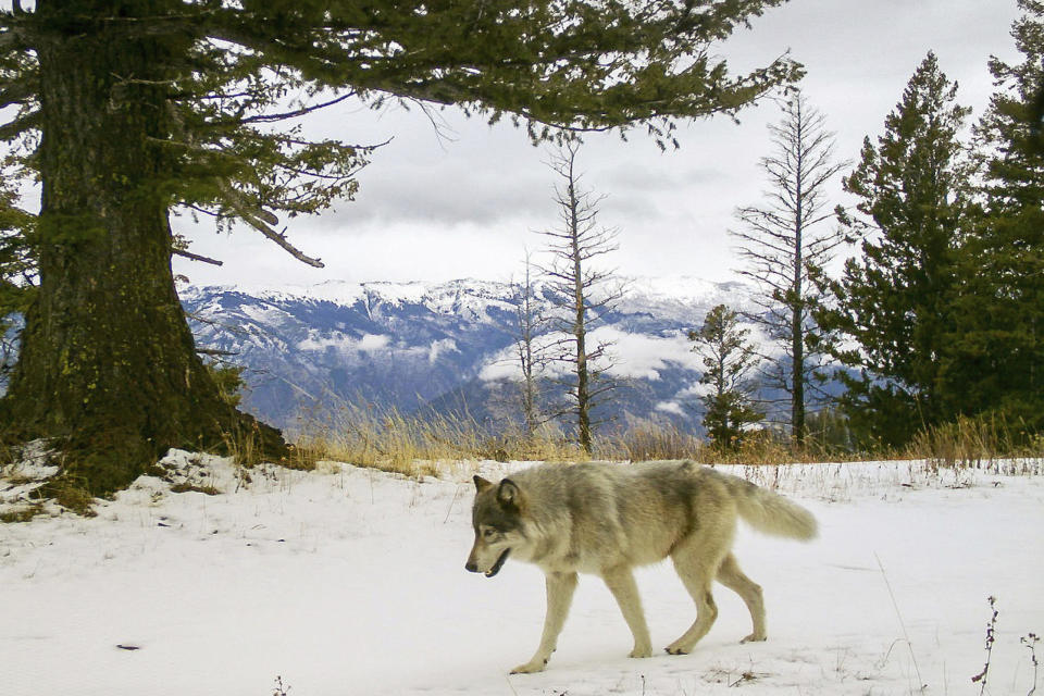 FILE - In this Dec. 4, 2014, file photo, released by the Oregon Department of Fish and Wildlife, a wolf from the Snake River Pack passes by a remote camera in eastern Wallowa County, Ore. President Joe Biden's administration is sticking by the decision under former President Donald Trump to lift protections for gray wolves across most of the U.S. (Oregon Department of Fish and Wildlife via AP, File)