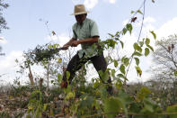 """Roberto Cocom Caamal, a beneficiary of Planting Life, a jobs and reforestation program promoted by Mexican President Andres Manuel Lopez Obrador, cleans his plot of land in Kopoma, Yucatan state, Mexico, Thursday, April 22, 2021. It has """"opened up new possibilities to survive,"""" Cocom Caamal said of the program, which currently has a budget of about $1.4 billion and operates in 20 of Mexico's 32 states. (AP Photo/Martin Zetina)"""