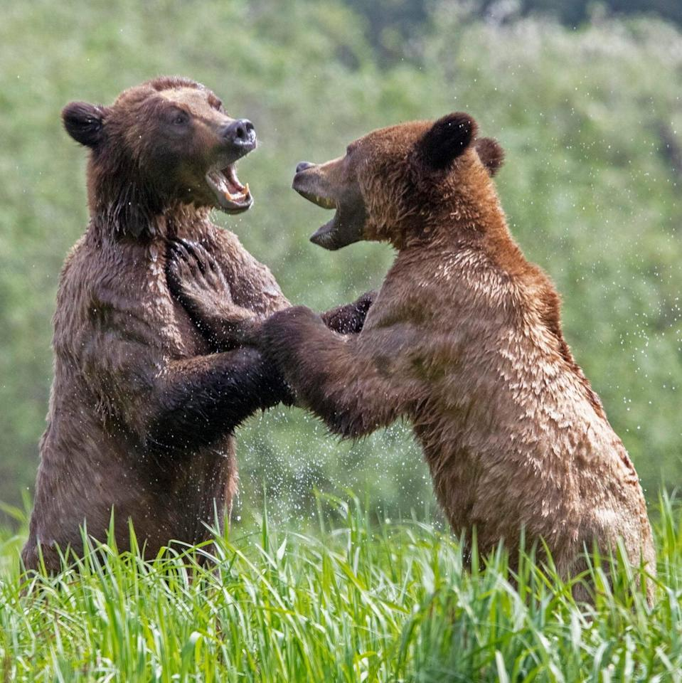 Young bears play fighting in Canada. - Danny Sullivan/Solent News & Photo Agency